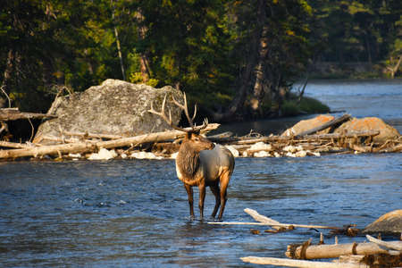 Bull Elk standing in the Madison River, Yellowstone National Park. 写真素材