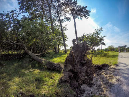toppled: Collapsed tree