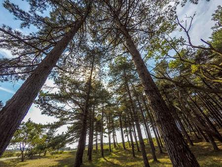 conifers: conifers