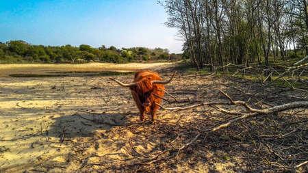 highlander: Highlander escoc�s en las dunas Foto de archivo