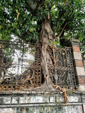 Tree grown around fence