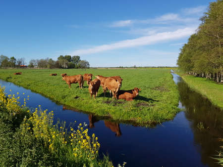 Brown cows in sunny meadow with ditch and bright blue sky