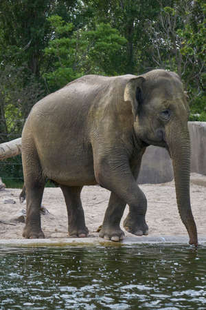 Elephant walking towards pond to drink water Stock Photo