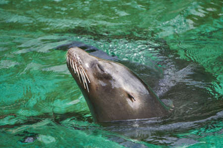 Happy sea lion swimming in the water with his head up 스톡 콘텐츠