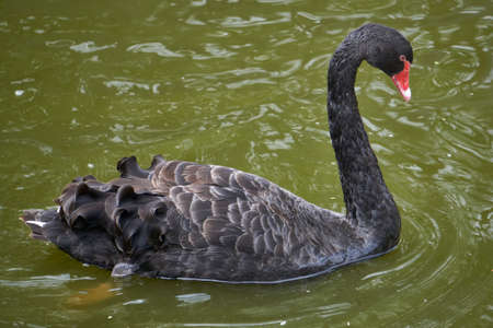 Beautiful black swan with red beak swimming Reklamní fotografie - 124482587