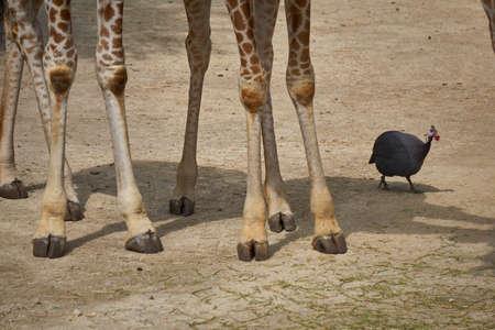 Small bird walking next to the legs of Giraffes