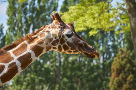 Close up of giraffe head with beautiful long neck and patches pattern