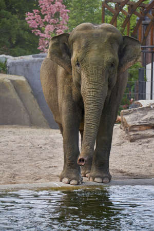 Posing elephant walking towards the camera and drinking water