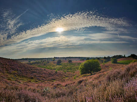 Panoramic picture of blossoming purple heath with green grass and trees on a bright summer day, Veluwe, The Netherlands 版權商用圖片