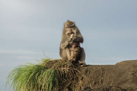 Macaque monkey eating bread while sitting on rocks in golden sunrise light on Bali, Indonesia