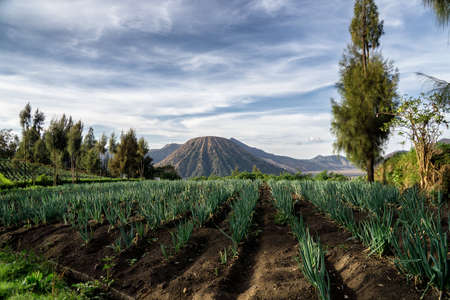 Agriculture field with view on Mount Bromo Volcano, Indonesia 版權商用圖片