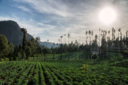 Green agriculture field near Mount Bromo Volcano, Indonesia