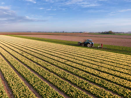 Aerial view of yellow tulip field with farmer working on the land with agricultural tractor machine Stok Fotoğraf
