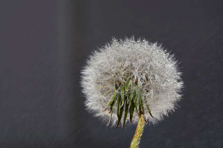 Close up macro photo of Dandelion in the rain with water drops on fluffy seeds