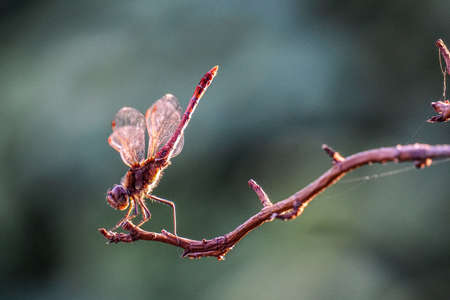 Macro close up shot of red dragonfly insect warming up on small twig in the summer sunlight