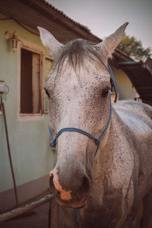 gray horse: Gray horse is bored waiting for the rider. Stock Photo