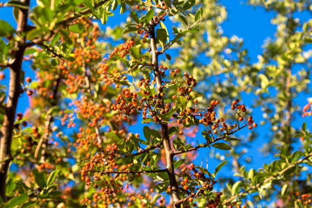 spreaded: Small orange berries spreaded out on the branches. Stock Photo