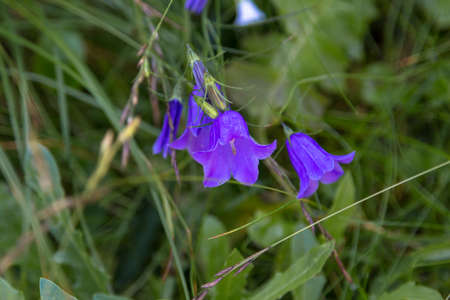 Blue bell flower typical for alpine areas. Stok Fotoğraf