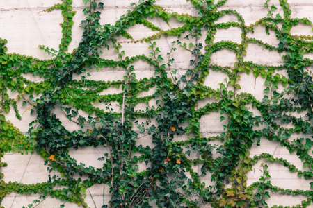 conquers: Climbing plant gradually conquers the space on a large wall. Stock Photo