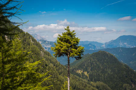 Trimmed fir on the background of the morning alpine valley. Stok Fotoğraf