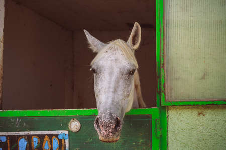 gray horse: Gray horse mysteriously looks out of the stall.