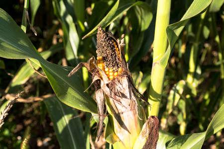 diseased: Half-rotten ear of corn growing in the sun.