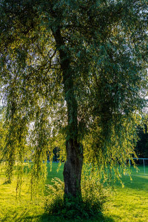 backlight: Tree against backlight at sunset on cutted green grass.