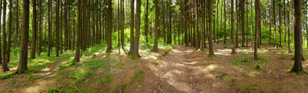 coniferous forest: Forest panorama, spring time Stock Photo