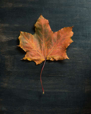Fallen maple leaf on dark background
