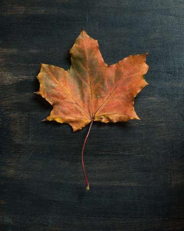 Fallen maple leaf on dark background