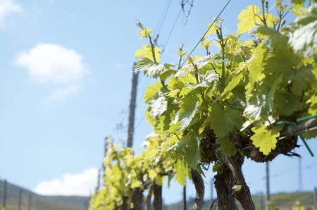 biologic: Young vineyards in Sicily