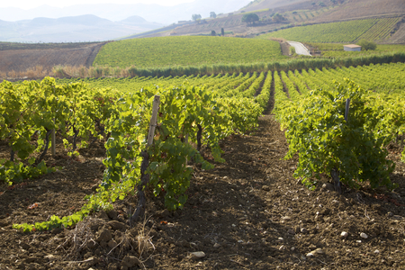 biologic: Vineyards landscape in Sicily Stock Photo