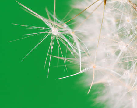 dandelion close up over green background photo