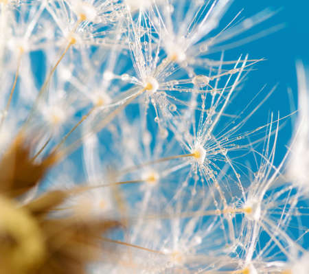 poetic dandelion over blue background photo