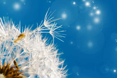 dandelion close up over blue background photo