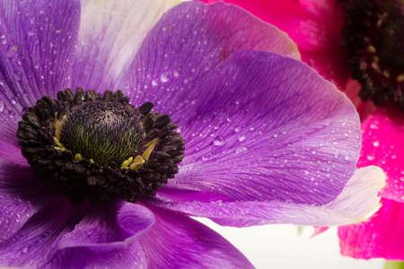 anemone flower: viola anemone fiore da vicino