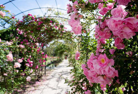 rose-bush: romantic path with flowering pink rosebush to Nervi Park, Genoa