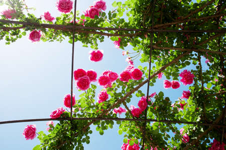 creeping: creeping rosebed against blue sky Archivio Fotografico