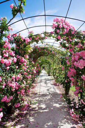 rose-bush: romantyczna ścieżka kwitnienia różowy krzak róży Zdjęcie Seryjne