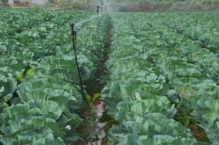 irrigated: A field of ripe cabbage being irrigated
