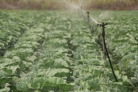 irrigated: Field of ripe cabbage being irrigated