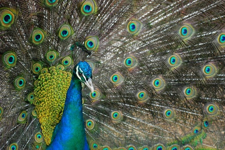 A beautiful blue-necked peacock proudly displaying its feathers  photo
