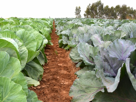 israel agriculture: Field of fresh and ripe multicolored collard Stock Photo