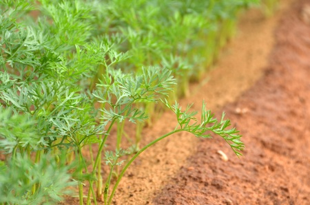 Fresh dill plant in a farm photo