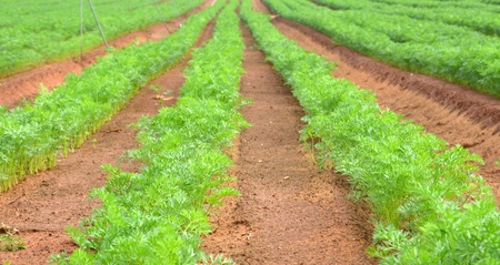 Row of dill in an agricultural farm photo