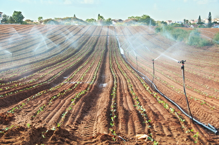 irrigated: Sprinkler irrigated newly planted field with blue sky - crops growing on fertile farm land in Israel