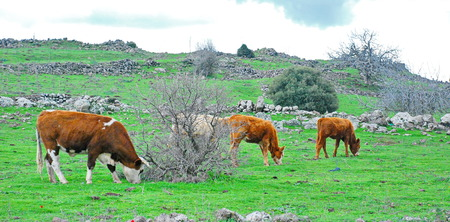 Cows grazing in the Galilee Mountains in the North of Israel