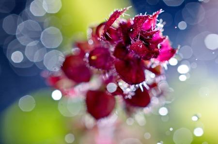 Artistic image red basil flower seedling many light points of bokeh blur photo