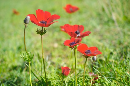 windflower: Wild red anemone coronaria (windflower)  flowers blooming in the Galilee, Israel, after the winter rains Stock Photo