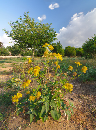 clowds: Yellow wild chrysanthemums -  mums - chrysanths gold flowers in Israel in a field of with trees, blue sky and white clowds in the background Stock Photo